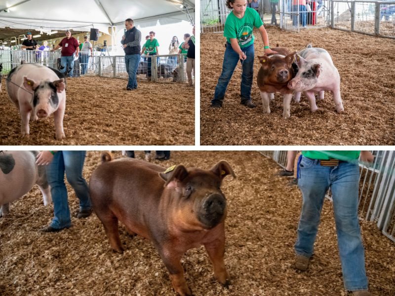Great Frederick Fair pigs 1000×800